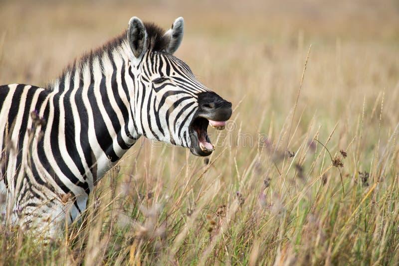 Zebra baring teeth. A zebra baring its teeth as if laughing stock photos