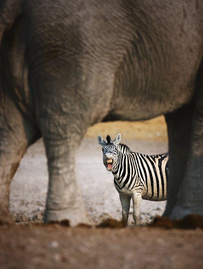 Zebra barking stock photos