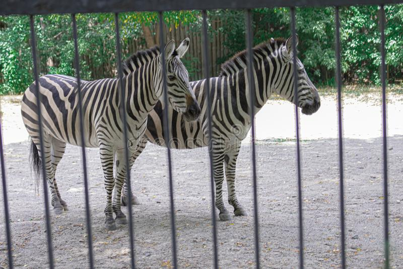 The zebra is behind the fence and shows excellent masking, a wild animal in captivity, cruel treatment of animals, excellent camou. Flage in an animal royalty free stock image
