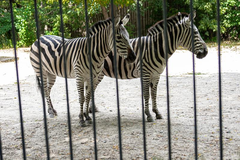 The zebra is behind the fence and shows excellent masking, a wild animal in captivity, cruel treatment of animals, excellent camou. Flage in an animal stock image