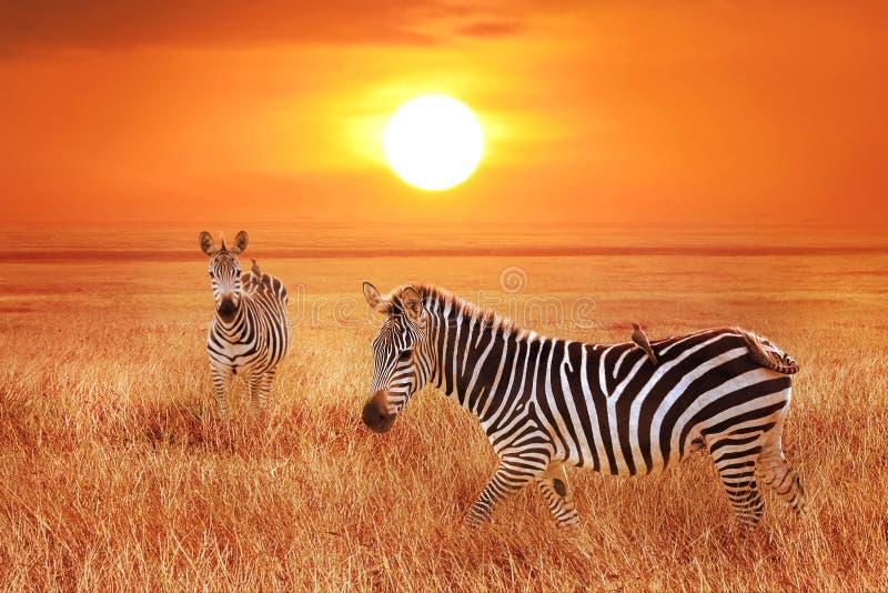 Zebra bei Sonnenuntergang im Nationalpark Serengeti Wildes Leben von Afrika stockfotografie