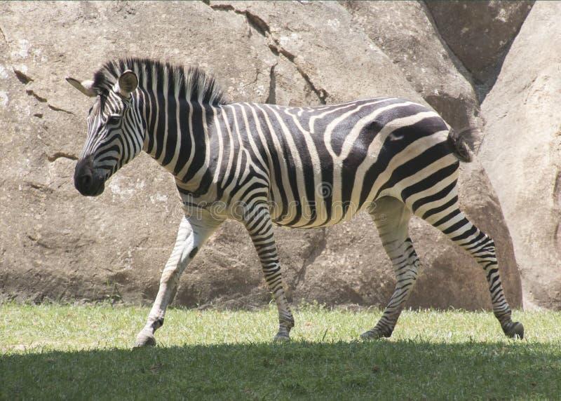 Zebra in beweging royalty-vrije stock fotografie