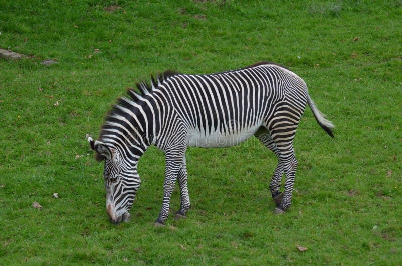 Zebra in bianco e nero che mangia erba immagini stock
