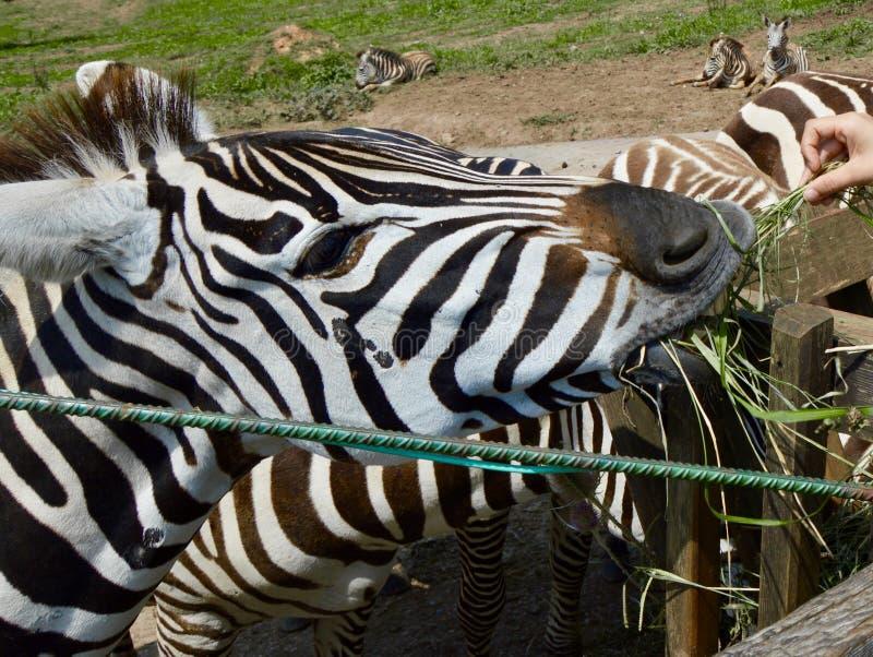 Zebra in bianco e nero graziosa che mangia erba fotografie stock libere da diritti