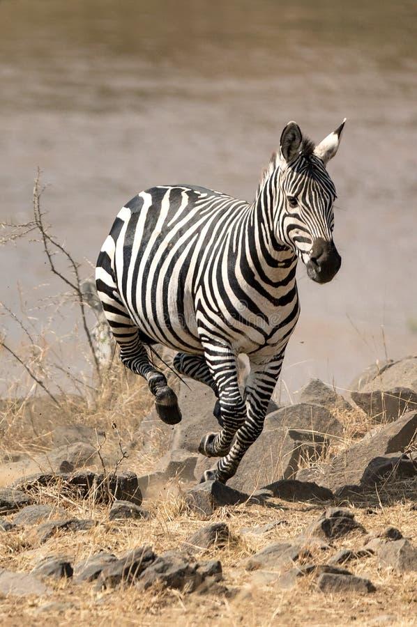 Zebra bieg od Mara rzeki fotografia royalty free