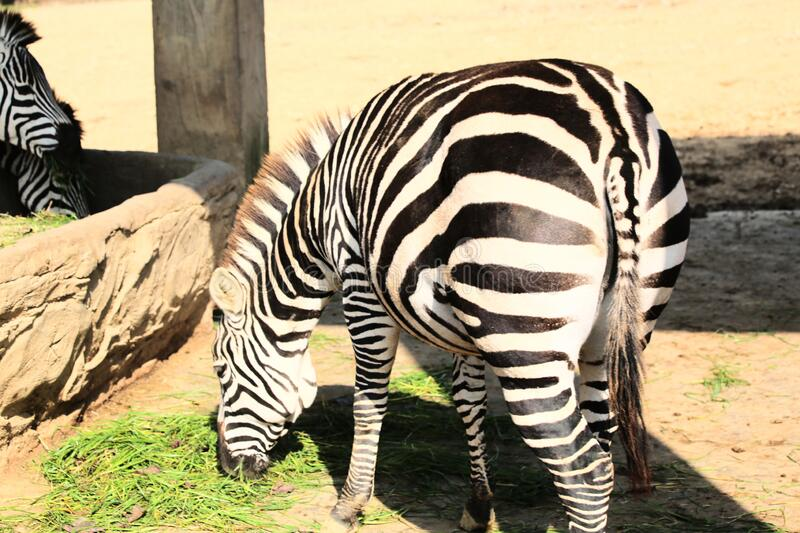 A zebra with a big ass just ate grass there stock photos