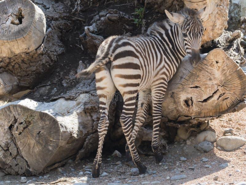 Zebra bij safari stock foto's