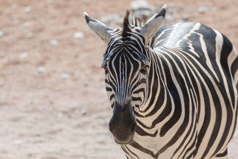 Zebra bij safari royalty-vrije stock foto's
