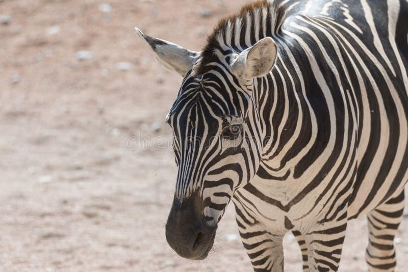 Zebra bij safari stock foto