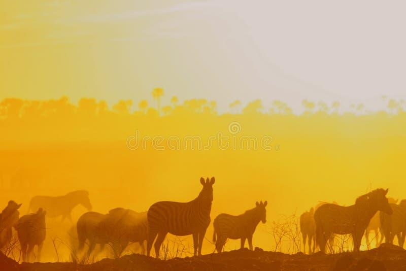 Zebra bij schemer royalty-vrije stock foto