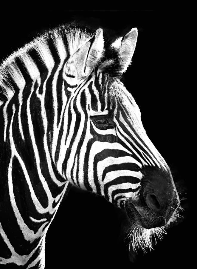Zebra on Black stock photography