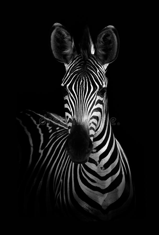Zebra in Black and White royalty free stock image