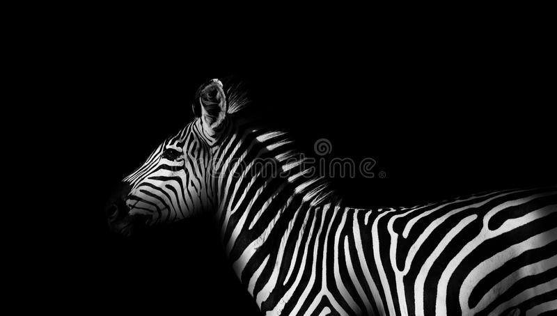 Zebra in black and white royalty free stock photo