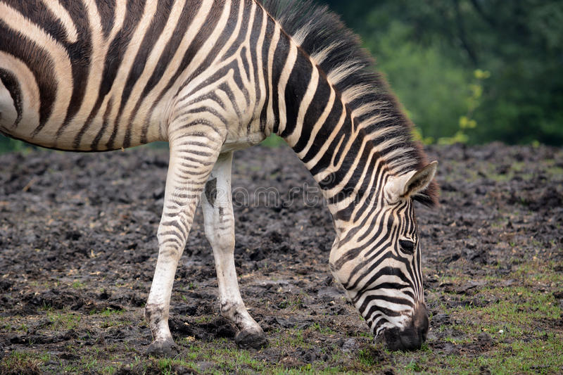 Zebra. A black and white striped zebra feeding on grass royalty free stock image