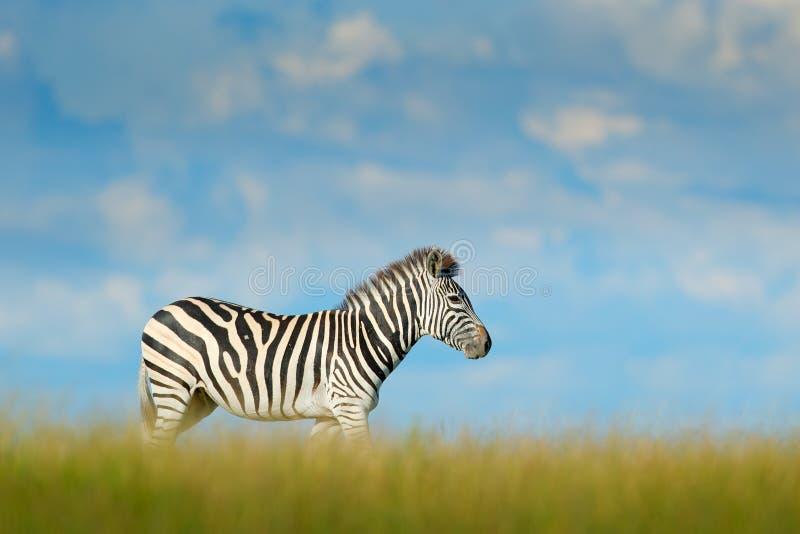 Zebra with blue storm sky with clouds. Burchell`s zebra, Equus quagga burchellii, Nxai Pan National Park, Botswana, Africa. Wild. Animal on the green meadow stock photos