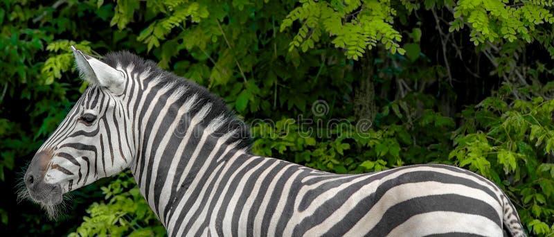 Zebra bonita Ascendente próximo da zebra Animais do jardim zoológico foto de stock royalty free