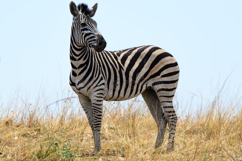 Zebra in Botswana royalty free stock image