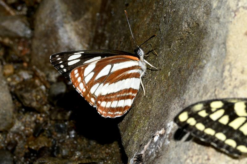 Zebra butterfly collects moisture on stone. Close-up royalty free stock photography