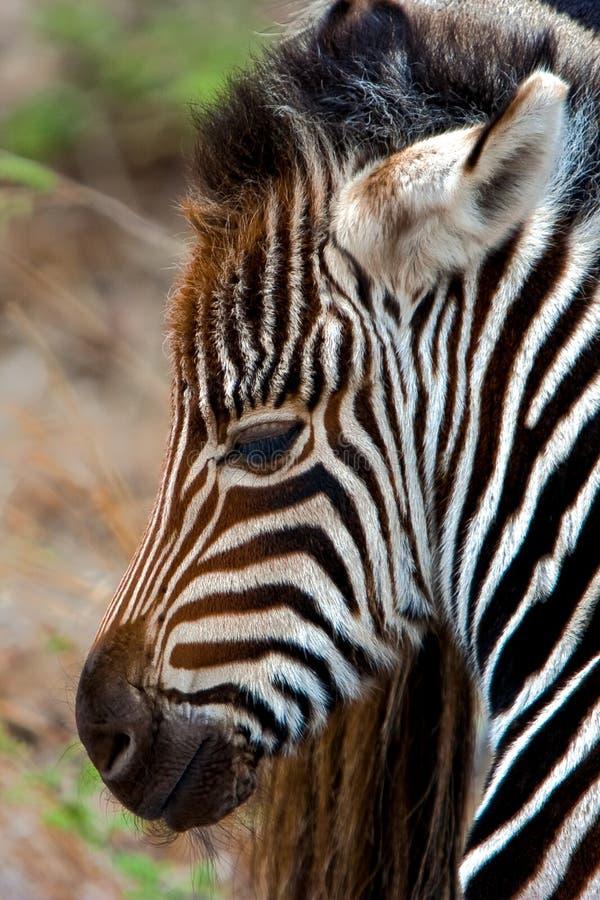 Download Zebra Calf stock image. Image of stock, mammal, africa - 13216621
