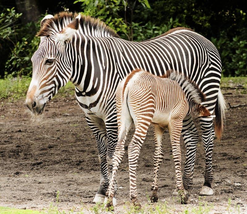 Zebra Calf Feeding. Zebra Mother Feeding her calf royalty free stock image