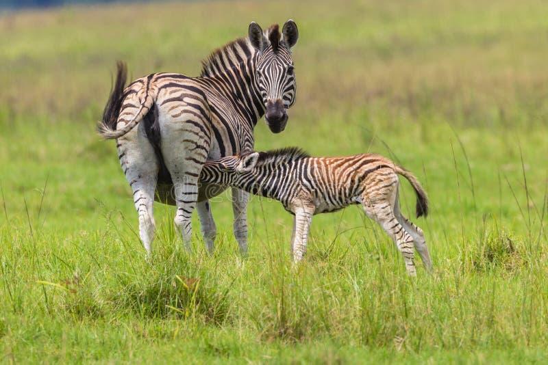Zebra Calf Feeding. Zebra female feeds its young calf colt while looking alert for predators stock images