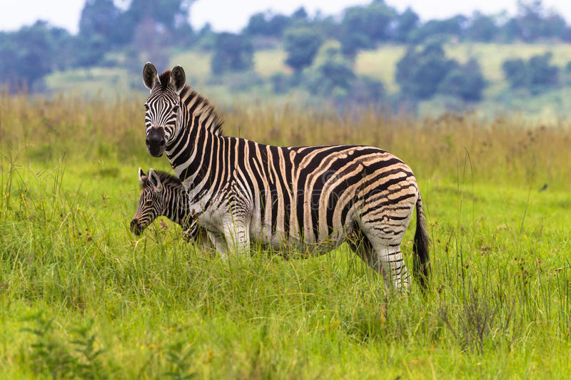 Download Zebra Calf Protect stock photo. Image of animals, south - 29083330