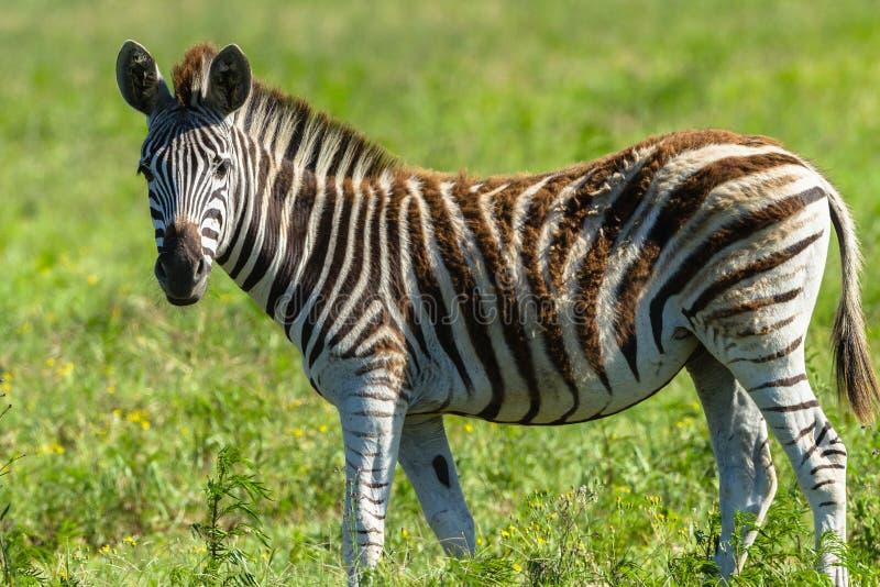 Zebra Calf Wildlife royalty free stock photo