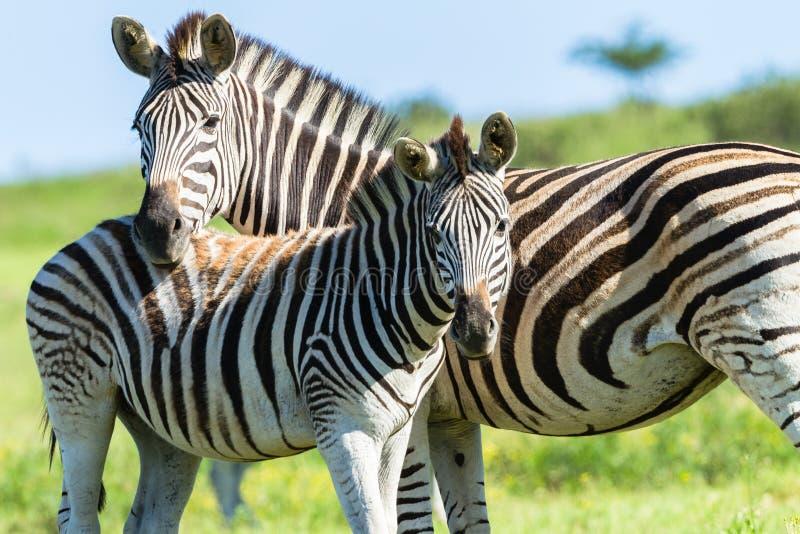 Zebra Calf Wildlife royalty free stock image