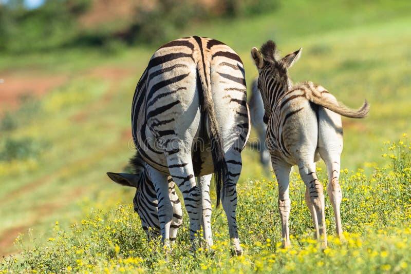 Zebra Calf Wildlife stock image