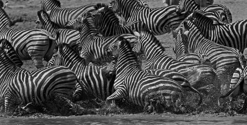 Zebra Chaos. Zebras at a waterhole in the Kruger National Park, South Africa stock photography