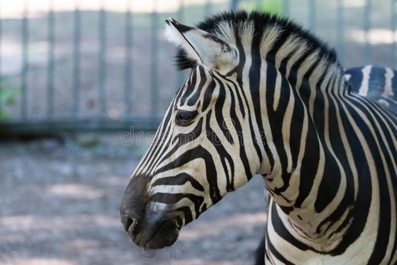 Zebra Chapman, Equus Burchelli Chapmani imagem de stock royalty free