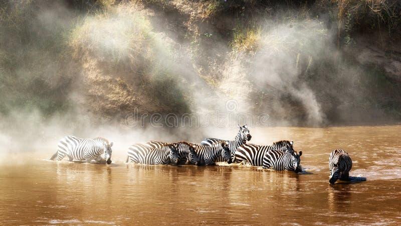 Zebra che beve in Mara River During Migration immagini stock