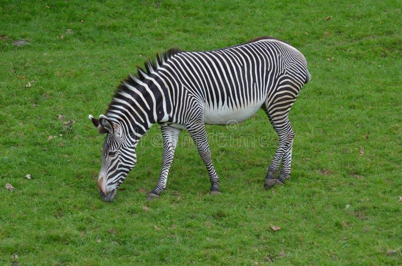 Zebra che fa un spuntino in un campo di erba fotografie stock