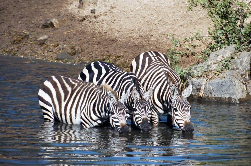 Zebra che ha una bevanda fotografia stock libera da diritti