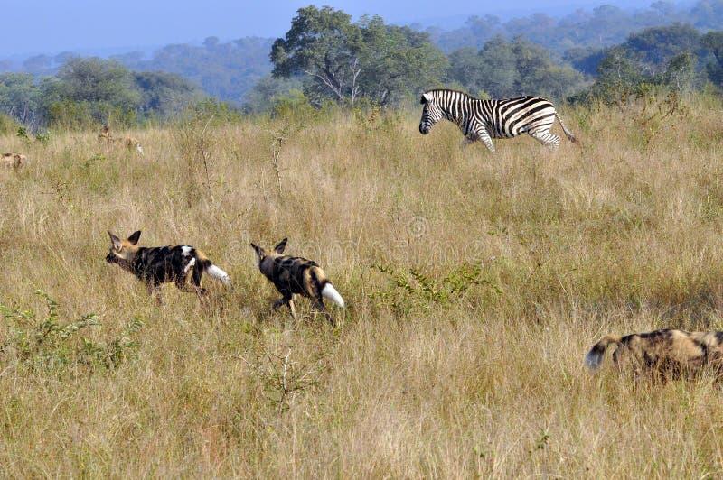 Zebra che insegue i cani selvaggi fotografie stock libere da diritti
