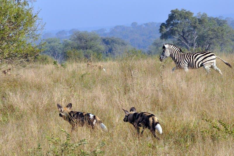 Zebra che insegue i cani selvaggi immagine stock libera da diritti