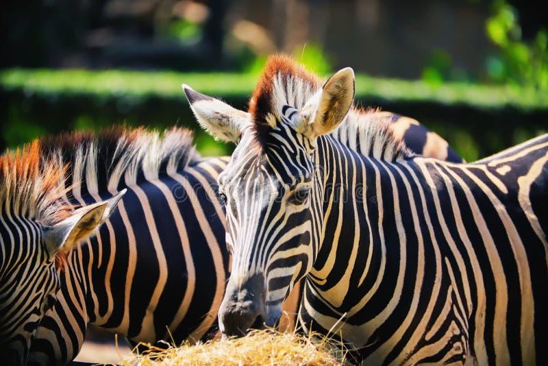 Zebra che mangia erba fotografia stock libera da diritti