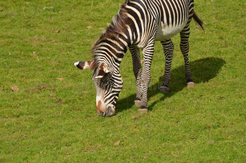 Zebra che mangia erba su una prateria immagini stock