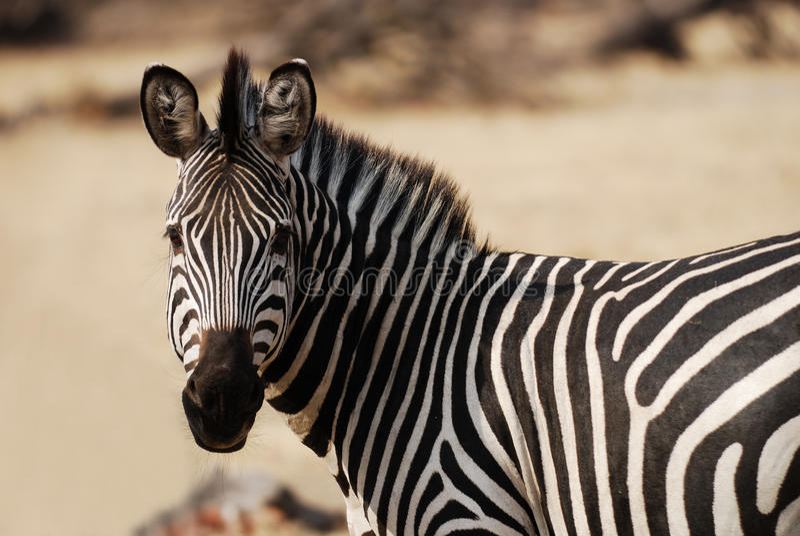 Zebra che osserva a sinistra fotografie stock libere da diritti