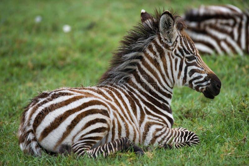 Zebra che si trova sull'erba nella savana kenya tanzania Sosta nazionale serengeti Maasai Mara immagini stock