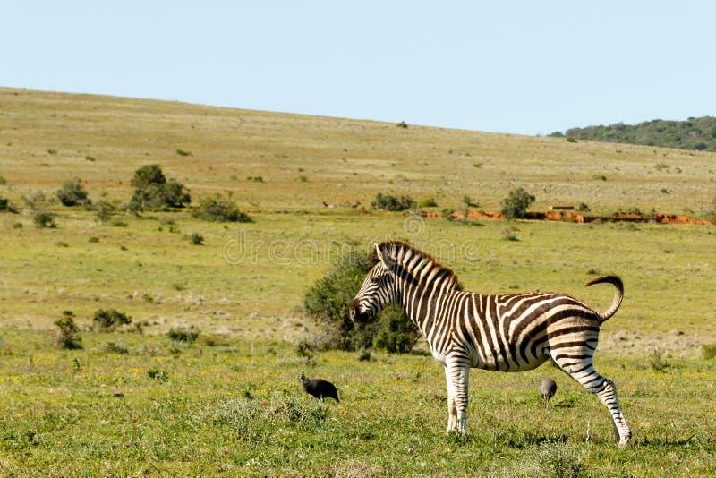 Zebra che sta nel campo fotografie stock