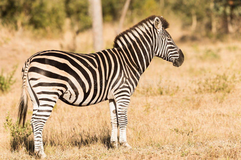 Zebra che sta nella spazzola fotografia stock