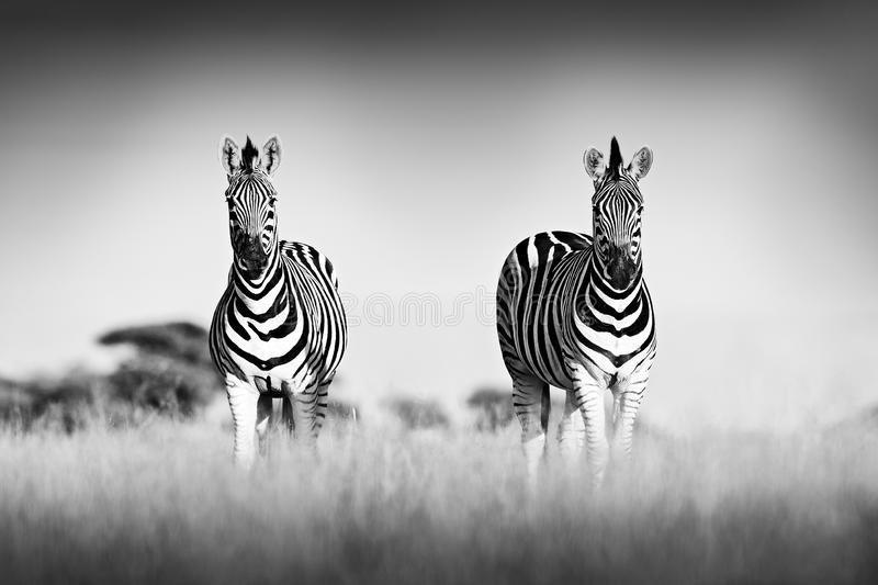 Zebra with clear sky. Black and white art photo. Burchell`s zebra, Equus quagga burchellii, Nxai Pan National Park, Botswana, royalty free stock photography