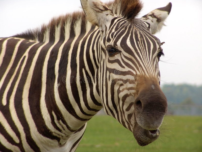 Zebra: close-up. Zebra head close-up. Photo taken at African Lion Safari, Ontario, Canada stock photography