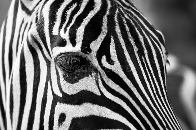 Zebra Close Up Free Public Domain Cc0 Image