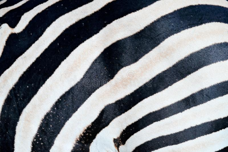 Zebra close-up detail of fur coat, Art view on African nature. Wildlife in South Africa. Black fur with white lines. Wildlife royalty free stock image