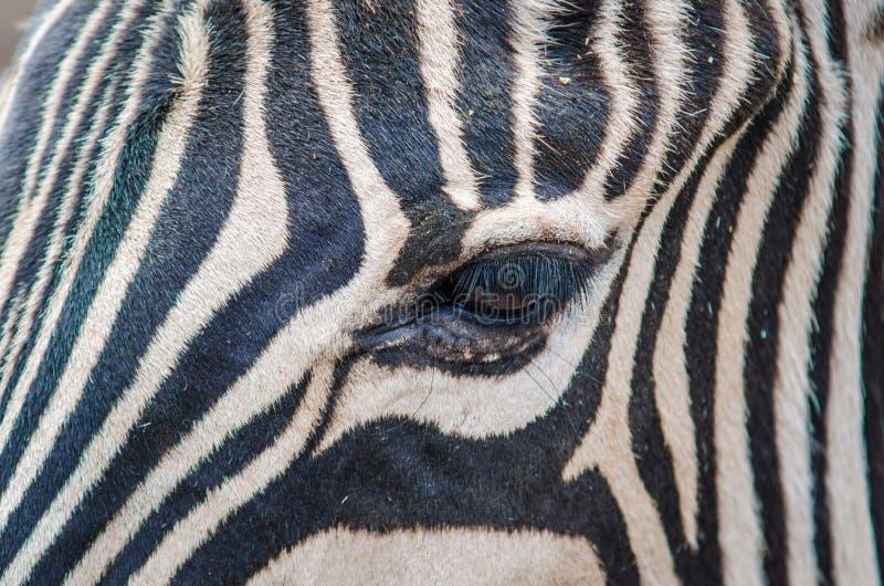 Zebra close up head. Black and white close up zebra head royalty free stock images