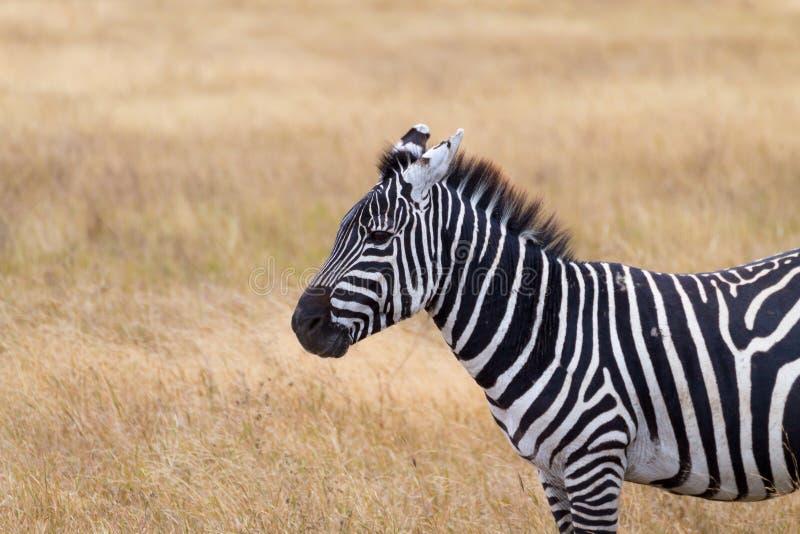 Zebra close up. Ngorongoro Conservation Area crater, Tanzania stock images