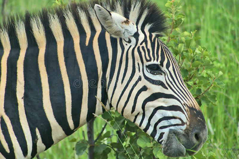 Zebra close up in South Africa. Close image of zebra in Pilanesberg National Park, South Africa royalty free stock photography