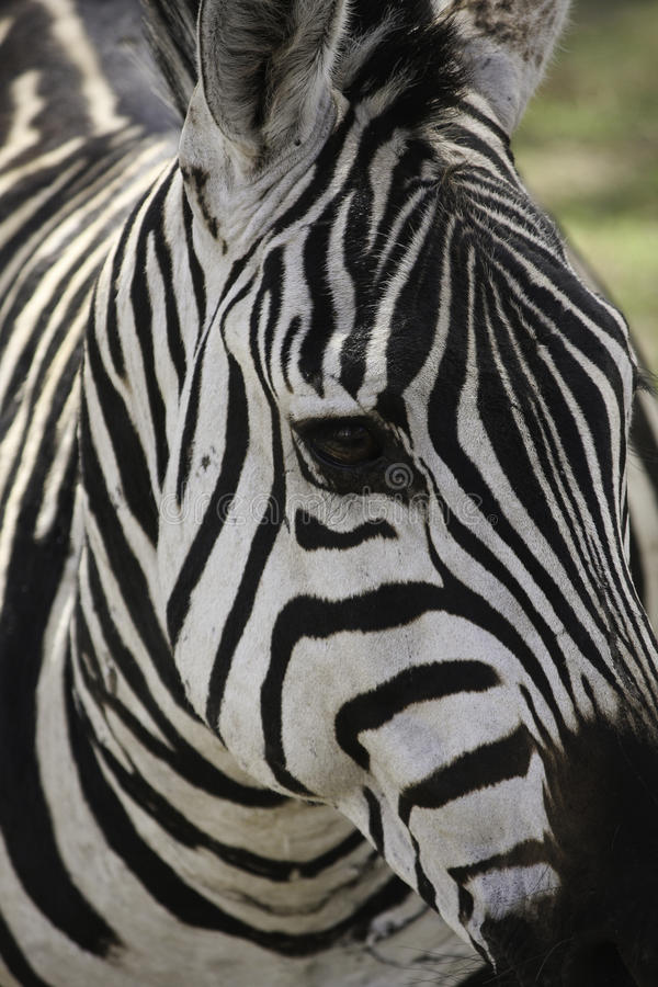 Download Zebra Royalty Free Stock Photo - Image: 36697515